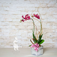 Valentine Orchid